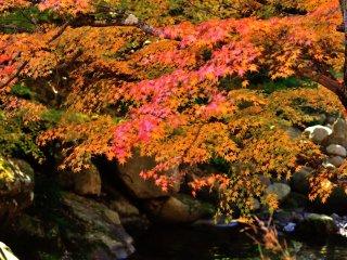 楓の葉を透過する光で河原の岩肌に投影される