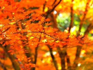 慎重に注意していないと、紅葉の色が溶けあって色トビしてしまう