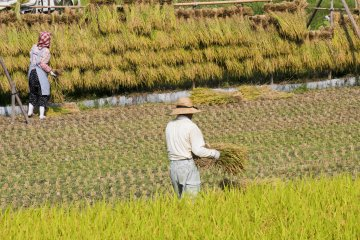 <p>Rice harvest is labor intensive</p>