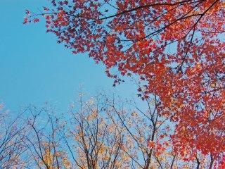 Warna-warni pohon maple/momiji dan pohon ginko di Taman Ekinishiguchi