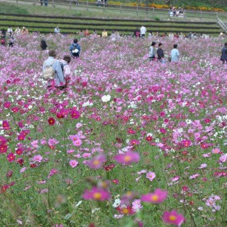 Kurihama Flower Park: Summer Cosmos
