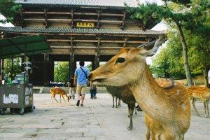 Shika atau rusa yang banyak berkeliatan di halaman Todaiji