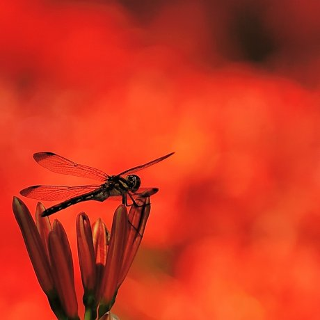 情熱の花、曼珠沙華