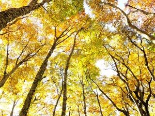 360°見回して、また真上を見上げても黄金色の世界 赤の無い紅葉は独特だが落着く