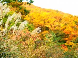 風になびくすすきの穂とバックは夕陽が当り金色に輝いている