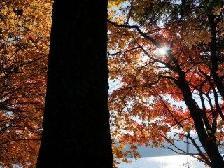ใบไม้สีส้ม ต้นไม้ใหญ่ แดดจ้าๆ
