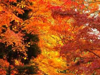 Fiery red autumn foliage in front of Eikando Preschool inside the temple grounds