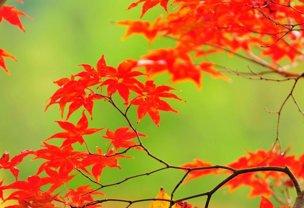 Daun maple terlihat gembung menyerap sinar matahari, dengan permukaan air kolam Hojo berwarna hijau sebagai latar belakang... foto ini terlihat seperti gambar di pintu geser Jepang