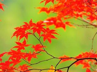 光を吸収して膨らんでいるような楓の葉 バックは放生池の水面 まるで襖絵のようなカットだ