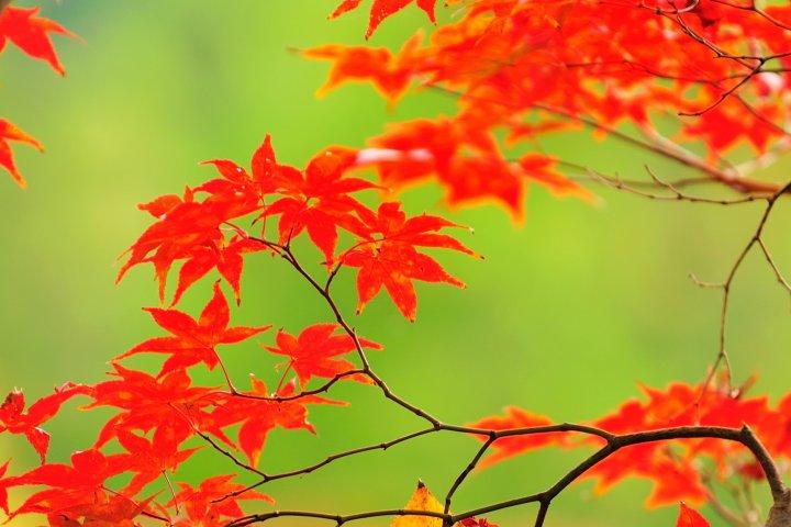 Daun musim gugur di Eikando, Kyoto: 2