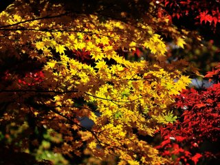 Warna kuning cerah ini dan daun merah membuat Saya tidak dapat berkaca-kaca!