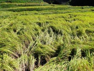 """Les agriculteurs drainent les rizières au début de la récolte, ce qui fait """"tomber"""" le riz"""