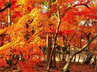 今回の中心はこの絨毯のような散り紅葉