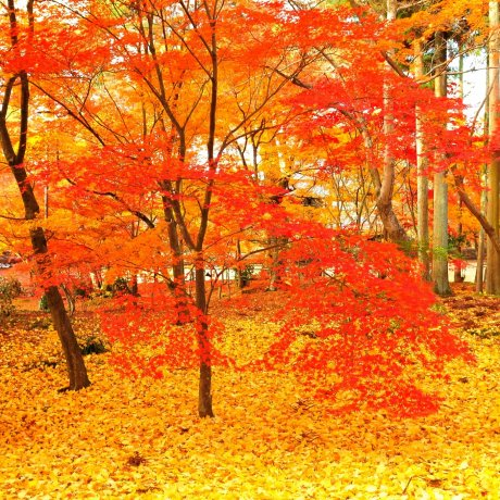 Autumn Foliage of Eikando, Kyoto: 3