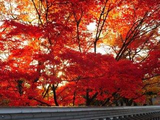 総門から中門に向かう塀から零れ落ちてくるような紅葉