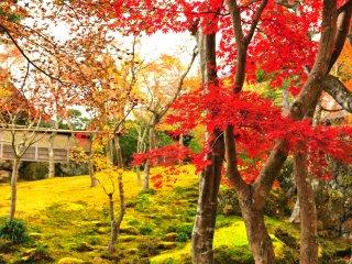 이끼 정원의 단풍 잎들과 초록빛 이끼가 극명하게 대조적인 색감을 보여준다.