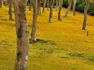 이 정원은 일본에서 최고로 많은 종류의 이끼(130종)가 있기로 유명하고, 단풍 나무도 200그루가 심어져 있다.