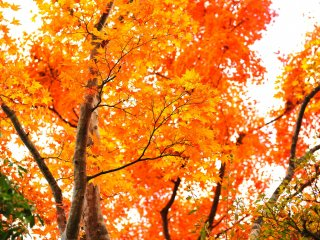 Vermilion leaves aflame high in the sky