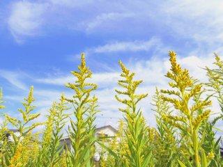 青空に向かって背伸びする、聖玄寺前の黄色い菜の花: 聖玄寺はのどかな住宅街の中にある
