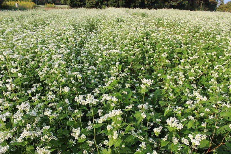 한여름 8월에 뿌린 메밀씨는 9월 말에서 10월에 핀다. 메밀꽃은 아침 7시쯤에 벌어진다