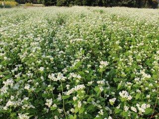 真夏の8月に蒔いた蕎麦の種は9月の終わりから10月に開花する。蕎麦の花は朝7時くらいに開く