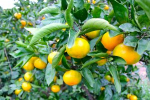 The Japanese orange, Mikan, is easy to pick, peel, and has a good balance of sweet and sourness.