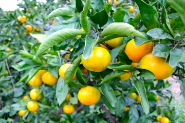 <p>The Japanese orange, Mikan, is easy to pick, peel, and has a good balance of sweet and sourness.</p>