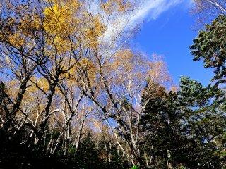 三本滝への道中、見上げれば銀色の白樺と澄み切った青空