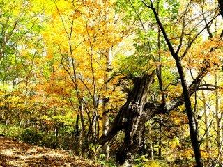 善五朗の滝(乗鞍三名滝)に行くのに、この黄色い林をとおり抜ける