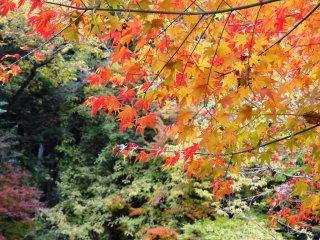 Lusinan pohon maple berbaris di sepanjang jalur taman