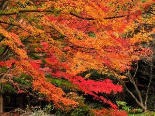 Nikmatilah keindahan dedaunan musim gugur di sekitar Kolam Hase