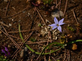 A lone star flower on a bed of earth, leaves, and twigs