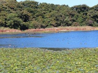 日中は10種を超える鴨が大堤で休息している