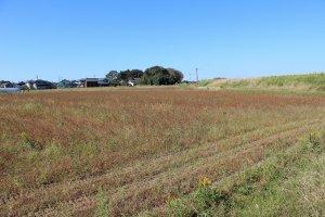 2014年は種まきの8月と発芽の9月に雨にたたられて、蕎麦にはあいにくの年だった。この8,9月の天候が蕎麦の成長には大きく影響する