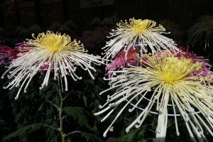 A close up of some chrysanthemums. You'll see many varieties on your visit, too