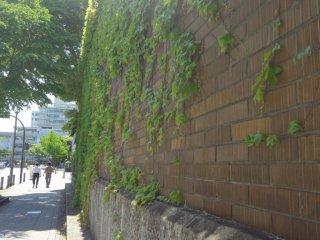蔦の絡まる外壁