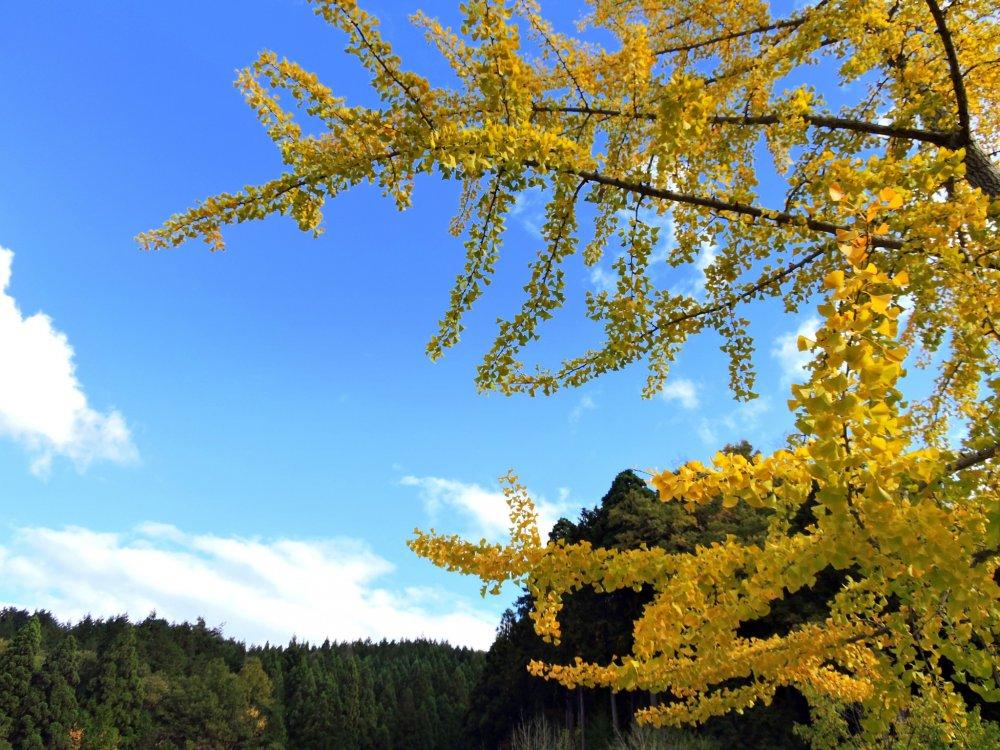 Желтая листва гинкго на фоне гор