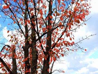 Красная листва деревьев на фоне голубого осеннего неба