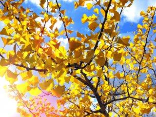 Листья гинкго светятся в лучах заходящего солнца