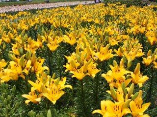 5月から7月にかけて園内は百合の花でうめつくされる
