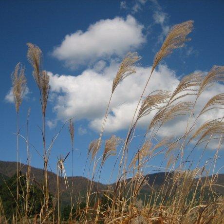 Cỏ lau ở Sengokuhara, Hakone