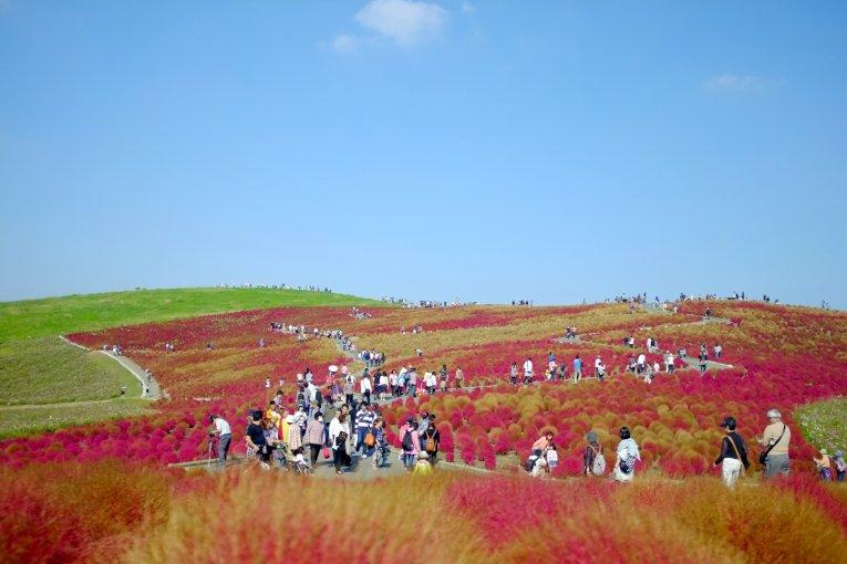 Công viên biển Hitachi vào thu