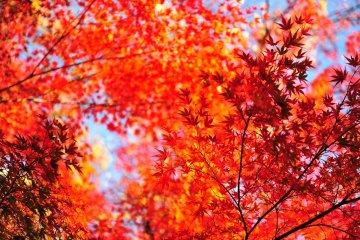 <p>Удивительное сочетание голубого неба и градации красных кленовых листьев!</p>