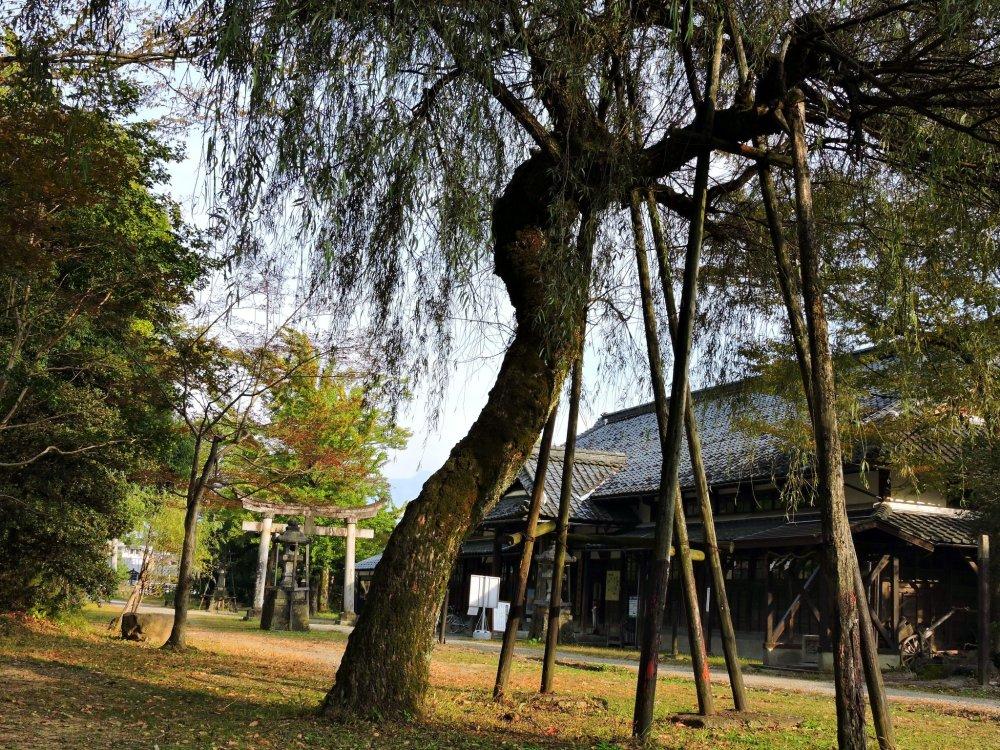 Cây anh đào rủ vào đầu mùa thu trên sân đền thờ
