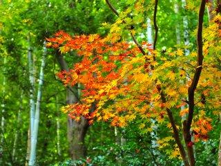 竹林と鮮やかな楓