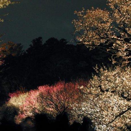 Mito's Plum Blossom Festival