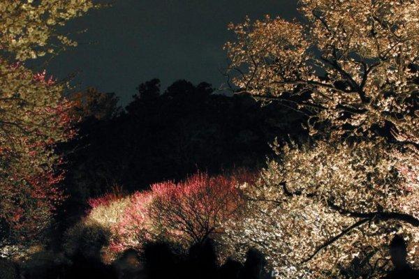 Kairakuen\'s plum blossoms lit at night during the festival