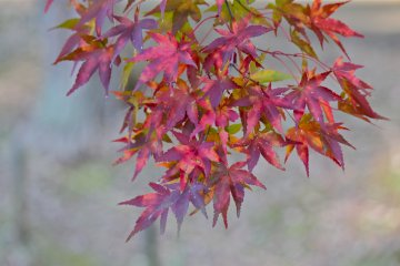 <p>Maple leaves against the duck pond</p>