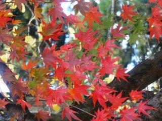 The leaves turn around the latter half of November