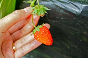 <p>This is what a strawberry looks like in mid-November. Looking forward to strawberry season!</p>